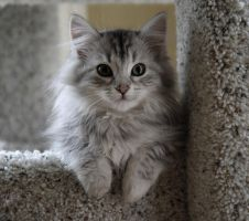 Sasha no. 2, Siberian Kitten by Mischi3vo