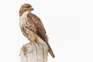Redtail Hawk 2 by bovey-photo