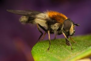 Narcissus Hoverfly 5 by Alliec