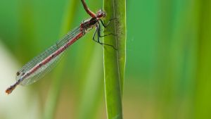 Large Red Damselfly 1600x900 6 by aradilon