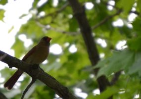 Female Cardinal by Noble-Kenshi
