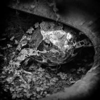 Frog II by MichiLauke