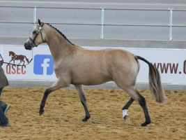 STOCK - Partbred Arabian 41 by fillyrox