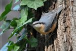 Nuthatch (011) - Nuthatch and Ivy by Sikaris