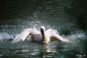 pelican going wild by Yair-Leibovich
