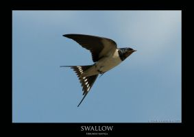 Swallow.3 by THEDOC4