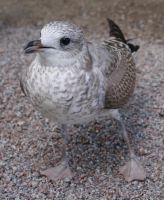 Young seagull2 by Skudde-Textures