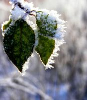 frost leaves by ExoticMan
