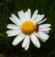 Beetle daisy by Ranae490