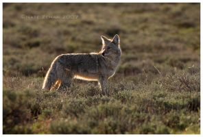 Sagebrush Coyote by Nate-Zeman