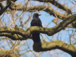 Dreamy corvus corax by pagan-live-style