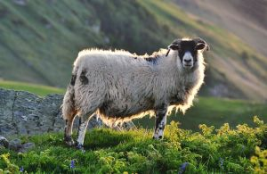 Torr Head Sheep II UPDATE by younghappy