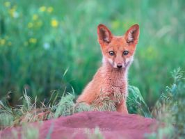 Red fox cub (Vulpes Vulpes) by Sergey-Ryzhkov