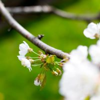 cherry blossoms by riskonelook