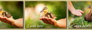 duck gets old by Partridge-PetPics