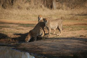 Cheetah Female with two grown cubs 003 by Elishapira