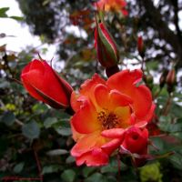 Vibrant Roses. by AlfiBOh