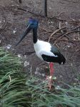 Black-necked Stork 01 by lizardman22