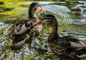 Ducks! by DrNoVodka