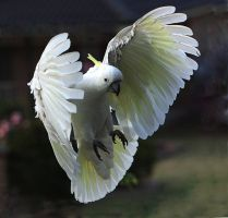 Sulphur Crested Cockatoo 21 by chezem
