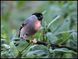 Bullfinch Female by cycoze