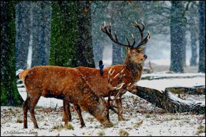 Woodland Stags by andy-j-s