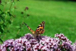 A butterfly in my garden... by Simmeson