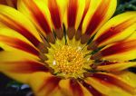 Yellow Tiger Stripe Gazania by ginas-cakes