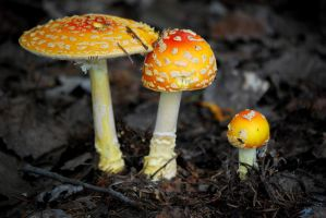 The Family Amanita Muscaria by gigi50