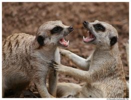 Meerkats: Gimme a hug by TVD-Photography