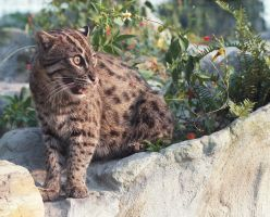 Fishing Cat by BigCatRescue