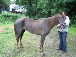 Cory the rescue morgan by rhinebeck