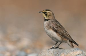 Waiting - Shorelark by Jamie-MacArthur