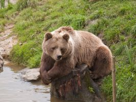 Lazy Bear I by konishkichen
