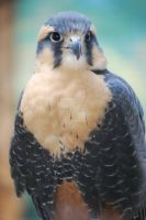 Northern Aplomado Falcon by ManitouWolf