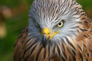 Red kite 2 by Poulus1967
