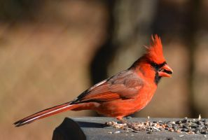 Christmas Cardinal 12-25-13 by Tailgun2009