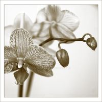 Orchid by MorkOrk