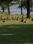 Alot of Geese by Bjnix248