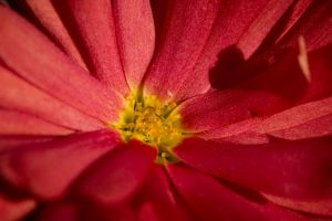 red flower by pringle753