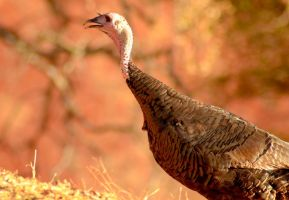Fall Turkey by Caitiekabob