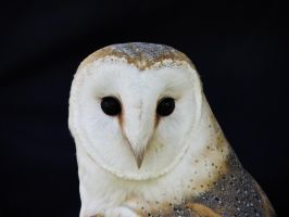 Barn Owl by Ajumska