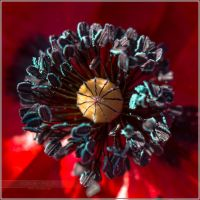 Coquelicot - 2 by songe