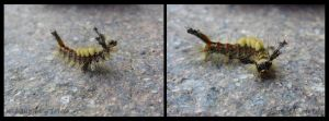 Tussock moth caterpillar by 0illecebra0