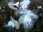 Milkweed WhiteFluff P1150670 by NemoNameless