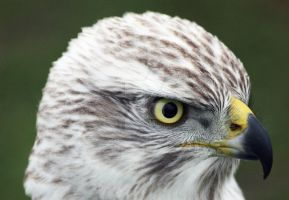 Finnish Goshawk by AngelaLouwe