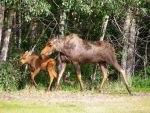 Moose and Calf by Realms-Master