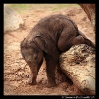 Baby Elephant Gymnastics II by TVD-Photography