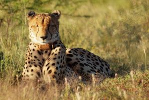 Rebecca the Cheetah by psychostange