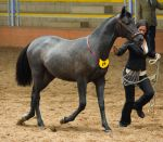 STOCK - 2014 Andalusian Nationals-100 by fillyrox
